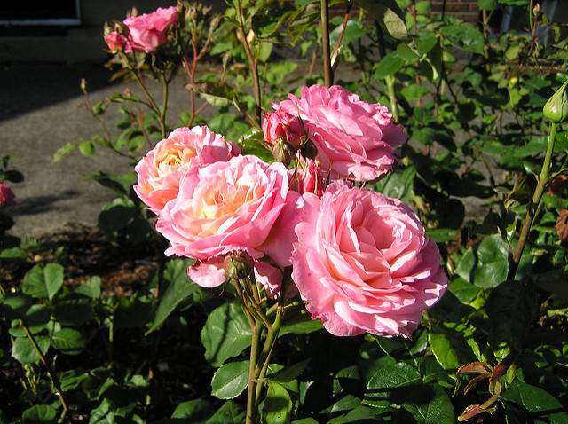 Roses growing in a garden