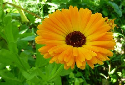 Pot marigold or calendula flower