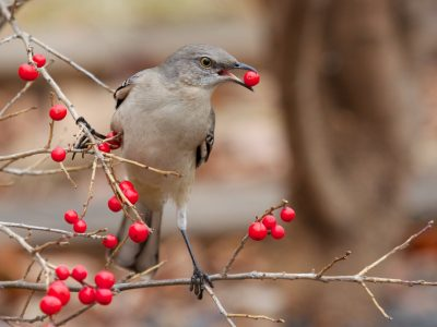 A bird feeds on berries
