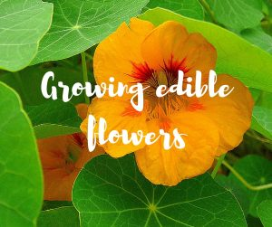 Growing edible flowers, with tips from ITV's Katie Rushworth