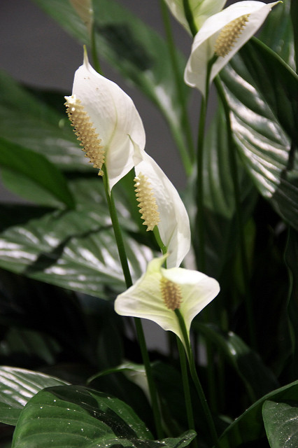 Peace lily from Creative Commons https://www.flickr.com/photos/oimax/2749939692/in/photolist-5c1agj-i6k66-pMY3ss-4AtJkg-9ECyS-JUj3F-CQvqC-fLkDw7-nmdB5g-8oW2su-672hVJ-8joNe4-CQq4H-fL43ex-5hwjpz-8VB3Pr-5moixL-9Dbozu-7tzBwp-5vgFTa-eoTCPM-brJb5U-779omR-3S1SLH-4HT2Ru-JeachU-CGRqK5-Bzvu5Y-8ZVyKq-az6uq-659AKm-8ZVyBN-4YSFzN-5fy1kC-24QMBi-85zdCy-bKB9aZ-p7yGmn-9a92Jy-7nxJ8f-e5vceT-p2oqdy-QbwNz-iNhMrG-5FX9pG-4whLk3-jDr2u-4ttvCF-6okJuc-54vKL6