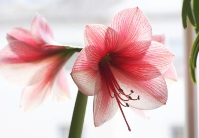"'Amaryllis Purple Rain' from Flickr: <a href="">https://www.flickr.com/photos/blumenbiene/11692859806/"">Maja Dumat"