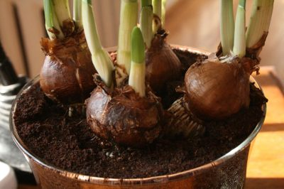 "'Foursome', four bulbs in a pot, from Flickr: <a href="">https://www.flickr.com/photos/galant/2194299188/"">thebittenword.com"
