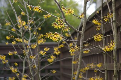 Yellow witch hazel flowers on a branch