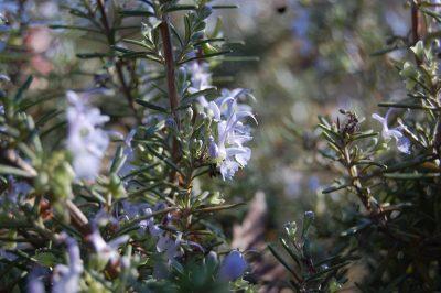 Blue flowers on rosemary in a winter garden