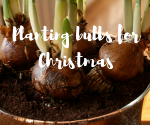 Planting bulbs in time for Christmas - a gardening blog from ITV's Katie Rushworth of Love Your Garden