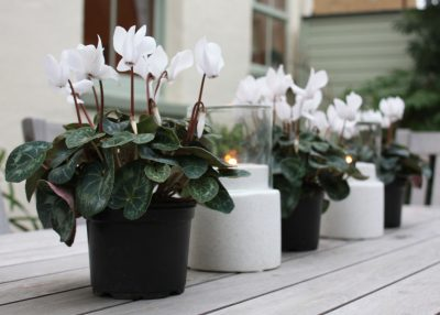 White cyclamens and candles displayed on a table