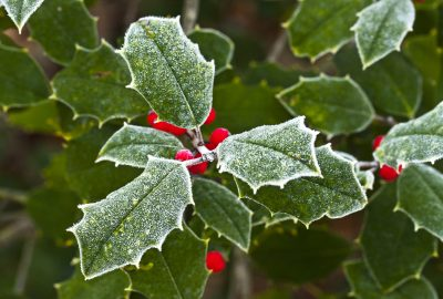 A sprig of holly leaves and berries