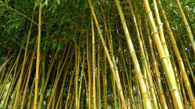 Bamboo growing in a UK garden