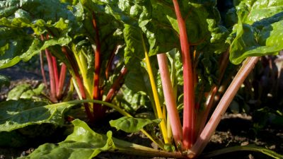 Chard with colourful red and yellow stalks