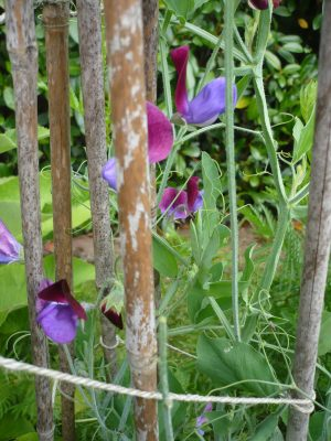 Sweet peas tied to a bamboo support