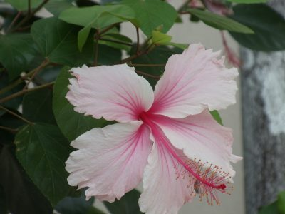 Hibiscus flower blooms in Barbados