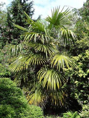 Chusan palm tree