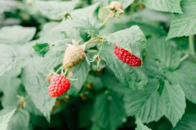 Raspberries growing on the vine, from Flickr: https://www.flickr.com/photos/barnimages/29217310285/