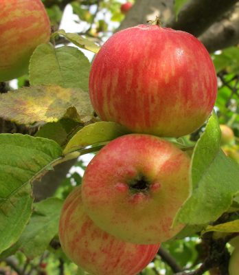 Apples on the tree, from Flickr: https://www.flickr.com/photos/crabchick/6049644426/
