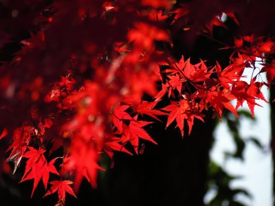 Japanese acer for autumn plant colour