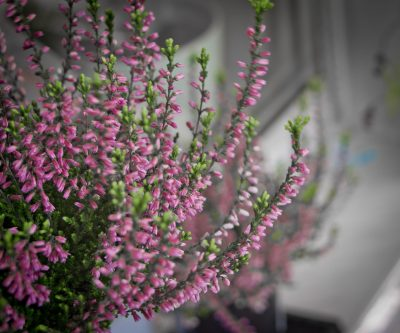 Flowering heathers are a pretty choice for bringing some autumn colour into your garden