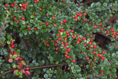 Cotoneasters, perfect for autumn colour in the garden