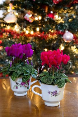 Cyclamen Christmas centrepiece festive DIY home plants houseplants projects