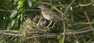 A thrush feeds her baby birds in UK hedgerow