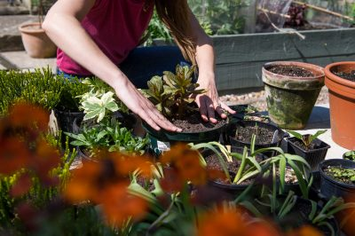 Planting winter bedding plants in containers