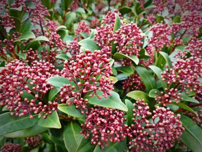 Skimmia in a pot, perfect winter bedding plants