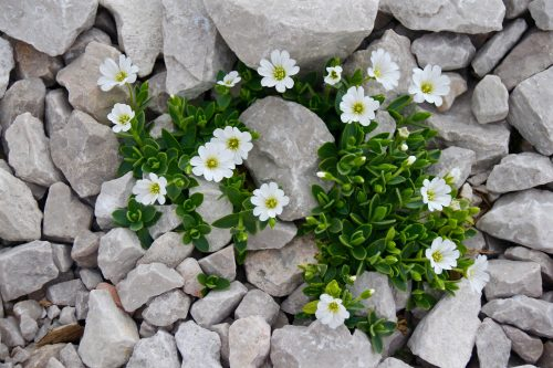 "Cerastium. Image by Nightowl from Pixabay Image by <a href=""https://pixabay.com/users/nightowl-29/?utm_source=link-attribution&utm_medium=referral&utm_campaign=image&utm_content=1337756"">nightowl</a> from <a href=""https://pixabay.com/?utm_source=link-attribution&utm_medium=referral&utm_campaign=image&utm_content=1337756"">Pixabay</a>"