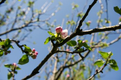 Apple tree blossom. Katie Rushworth's article on the best small fruit trees for pot planting
