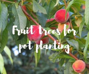 Fruit trees for pot planting: an article by Katie Rushworth