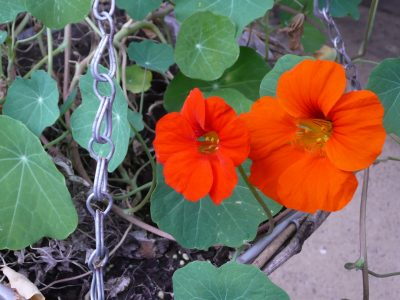 Nasturtiums growing in a hanging basket. Garden DIY tips from Katie Rushworth.