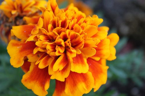 Close up of a bright orange marigold flower. Article on the use of colour in garden design by TV gardener Katie Rushworth