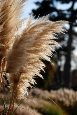 Pampas grass. Article on colour in garden design, by Katie Rushworth