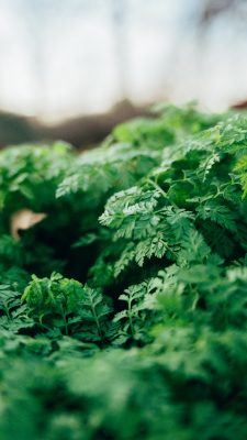 Parsley growing - how to preserve fresh herbs at home by Katie Rushworth