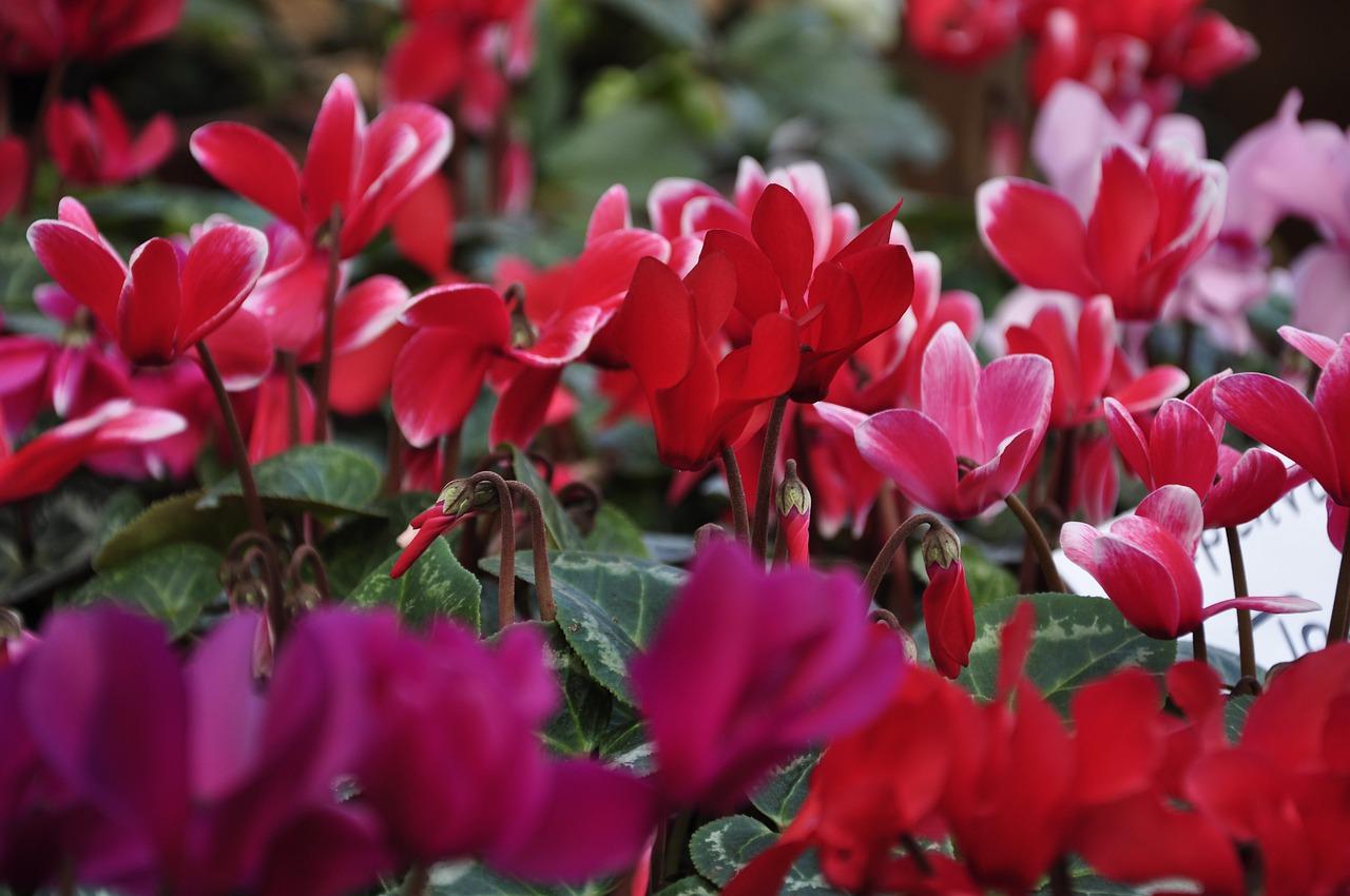 Cyclamen flowering in winter