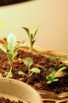 Kale and radicchio seedlings growing