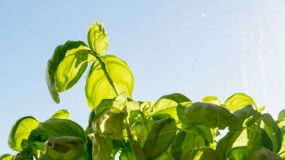 Basil growing in the sunlight