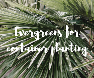 Evergreens for container planting, an article by Katie Rushworth
